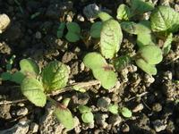 成長しだした伝統野菜『原種三池高菜』