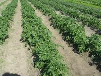 有機無農薬農業・・・草との戦いです。