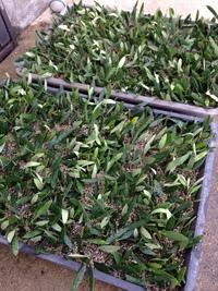 オリーブ挿し木。