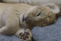 ライオンの赤ちゃんを見に行ってきました!