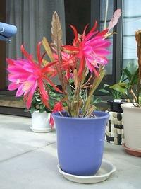 さらに咲くシャコバサボテン