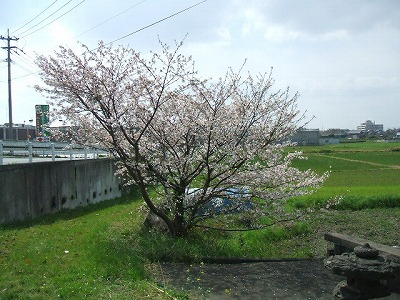 たんぼの一角に桜の木が一本