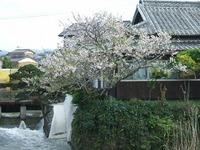 花宗川、馬場橋(南馬場)から見た、桜の木