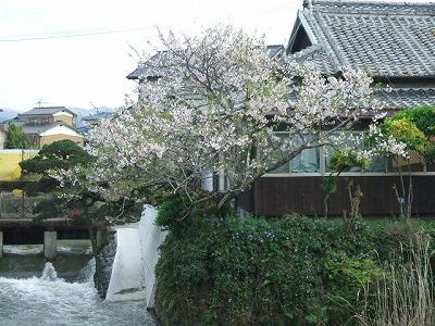 花宗川の桜