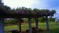 宮野公園の藤棚