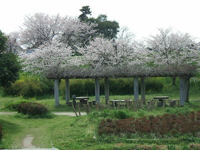 宮野公園から北側を臨んだ桜