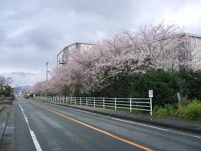 八女人形会館の桜並木