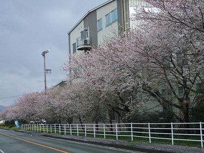 バルビゾンの道 桜並木