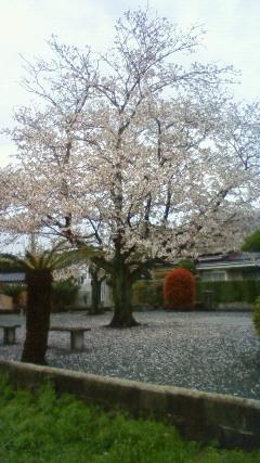 八女 清水公園の桜