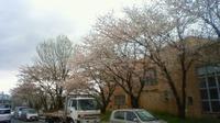 八女市総合体育館横の桜並木