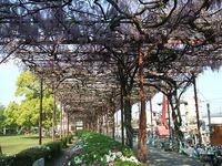 八女市鉄道公園横の藤棚