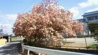 八重桜は遅咲き