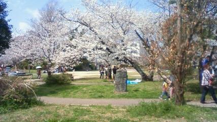 八女公園の桜
