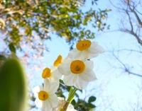 水仙の可愛い写真集。