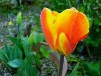 チューリップが咲いた。&『器爛漫』
