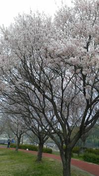 春ですね、桜ですね〜〜
