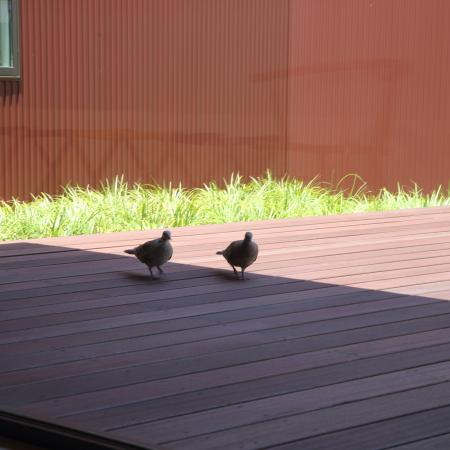 デッキをお散歩する2羽
