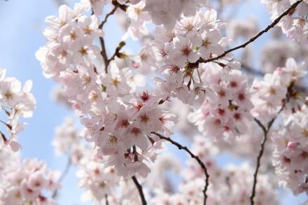 近所の桜です