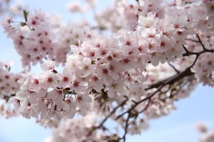 近所の桜...満開です