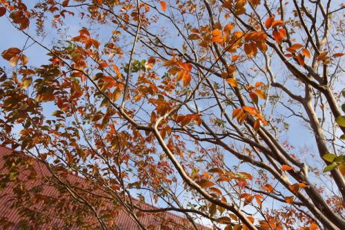 シマサルスベリの紅葉