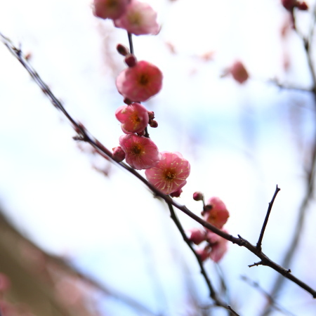 今日の梅の木の様子