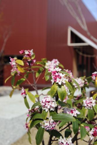 お店の花壇の沈丁花