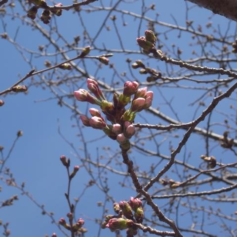 お店近くの桜