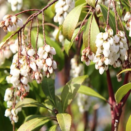 アセビの白い花..