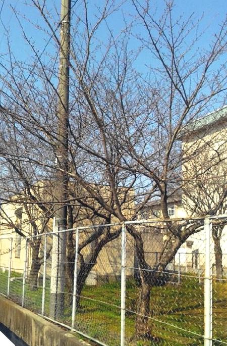 お店の近くの高校の桜の木です。。