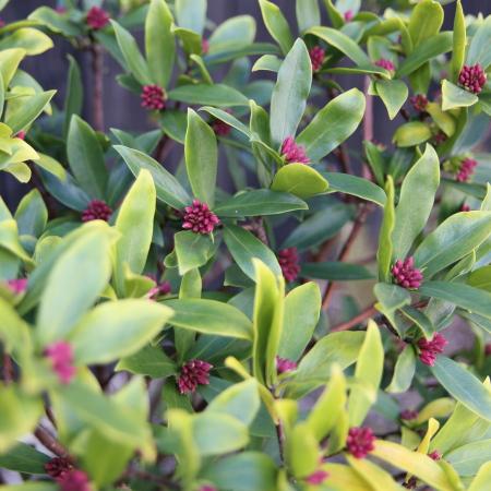 お店の庭の沈丁花