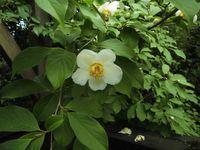 ナツツバキ(シャラ)の開花