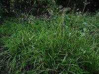 野生ネギで畑をガード