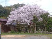 町内の桜、ソメイヨシノ