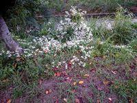 センニンソウが花盛り