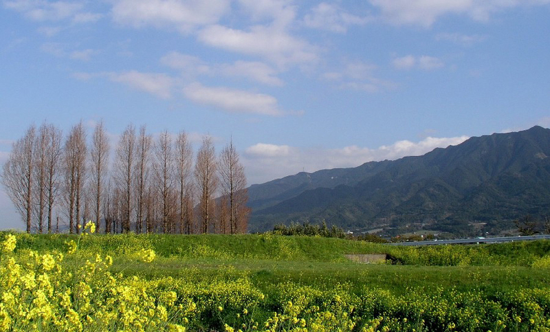 菜の花とアケボノスギ