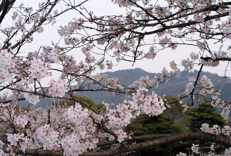 桜と高良山