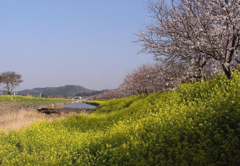 菜の花から桜へ