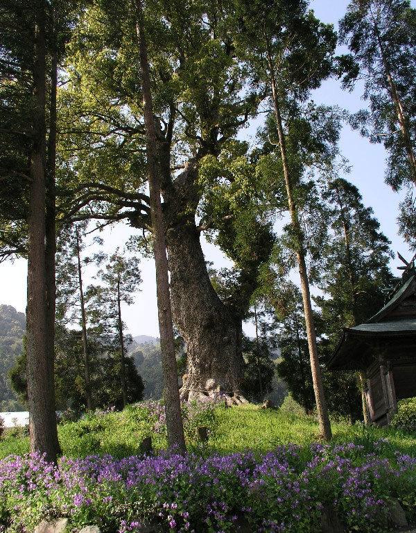 耳納一の大楠木