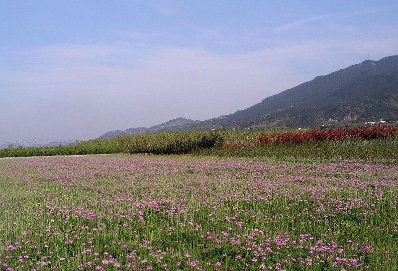 レンゲ畑と耳納連山