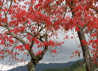 櫨紅葉(2)