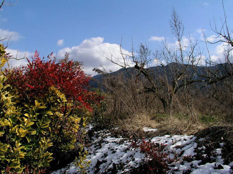 なごり雪と南天