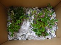 テラスブルーベリー プランター栽培