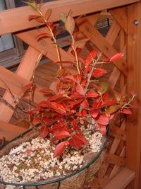テラスブルーベリーの紅葉