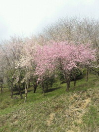 吉野ヶ里千本桜の森☆
