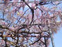 藤の花が咲き始めています!