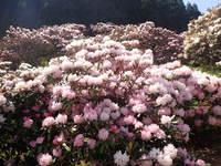 見頃です。シャクナゲの花