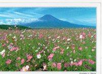 富士山とコスモス!