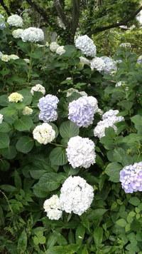 紫陽花 ( あじさい )
