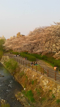 Cherry Blossom ( 桜の花 )
