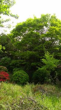 新緑と躑躅(つつじ)